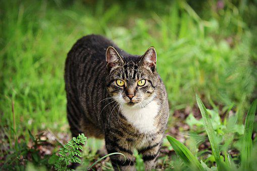 Katze, Makrele, Katzen, Tier, Säugetier