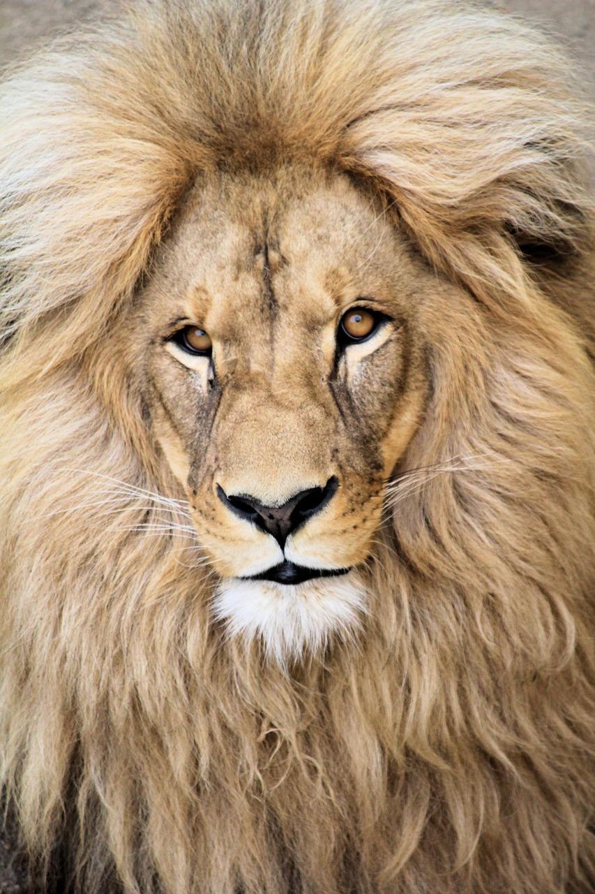 Lion Animal Beast   Free photo on Pixabay