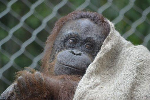 100+ Free Orangutan & Monkey Images - Pixabay