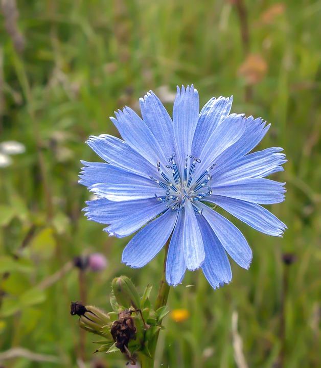 Chicoree Wildblumen Blüte Kostenloses Foto Auf Pixabay