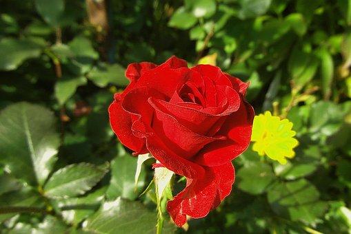 Rose, Bunga, Merah, Taman
