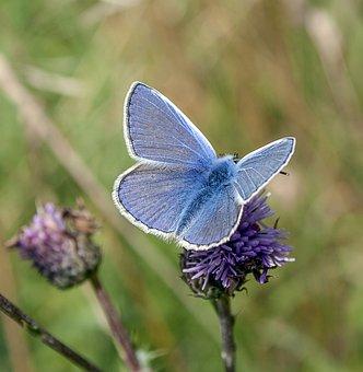 Mariposa, Común-Azul, Insectos