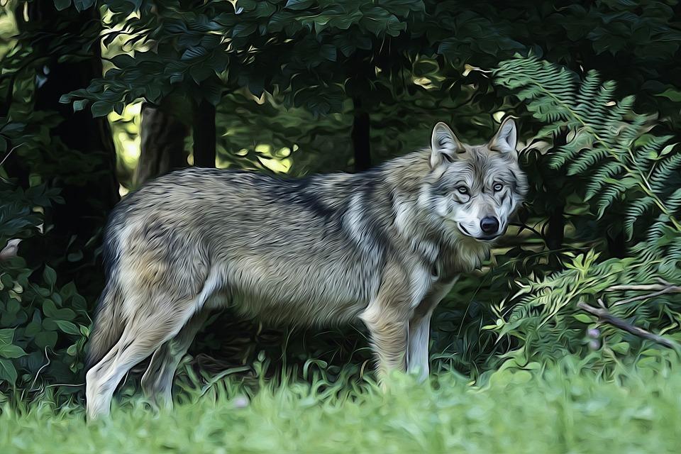 Imagini pentru lupi imagini