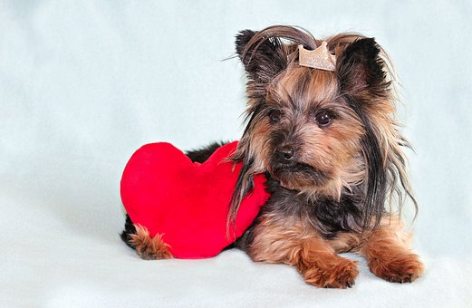 Yorkshire Terrier, Dog, Heart, Cute