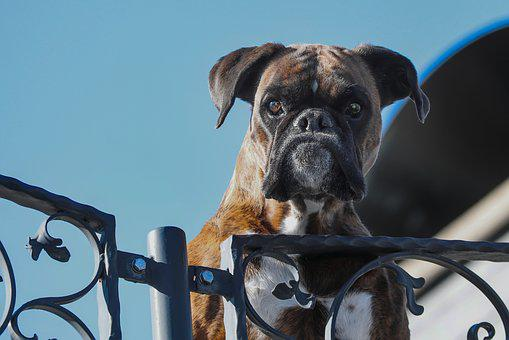 Guard Dog, Pet, Boxer, Dog, Snout