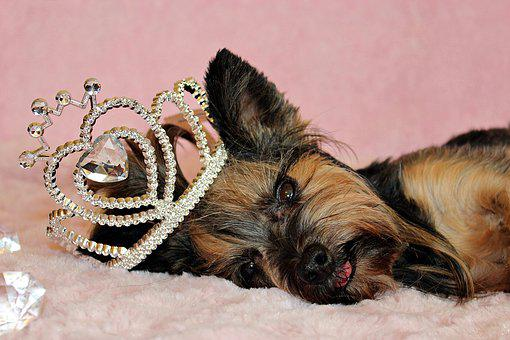 Yorkshire Terrier, Dog, Crown, Nice