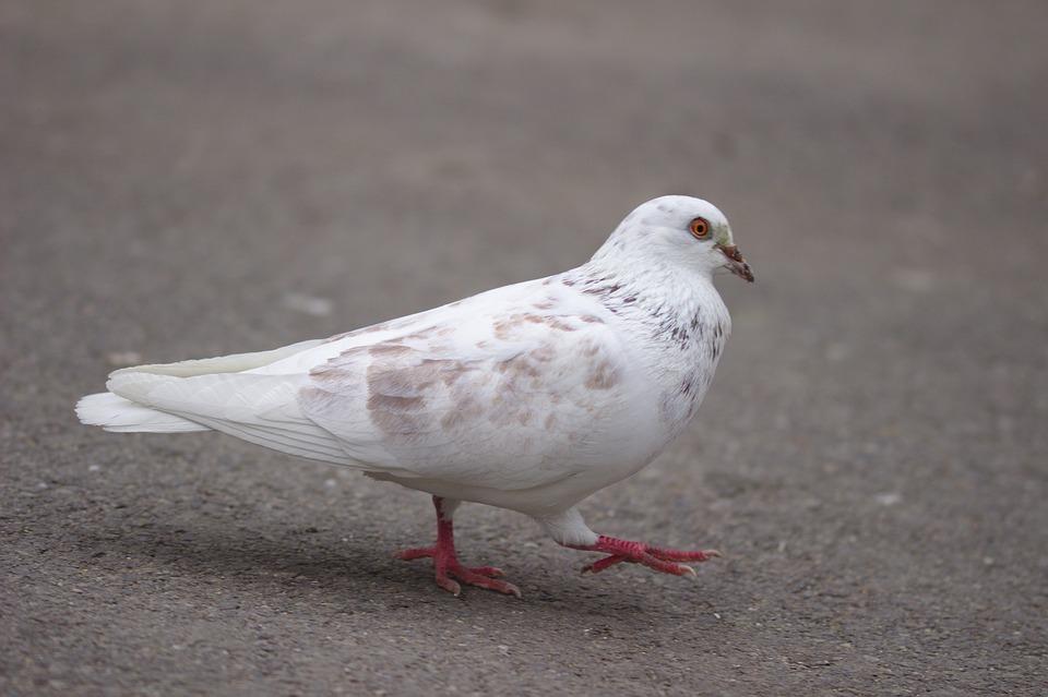 Unduh 94 Foto Gambar Burung Dara Yang Bagus  Paling Keren