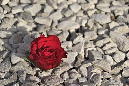Red, Red Rose, Pebbles, Nature, Romance
