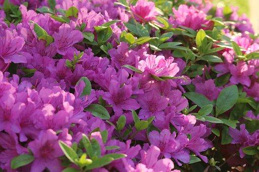 Flowers, Azalea, Nature, Plants, Shrubs