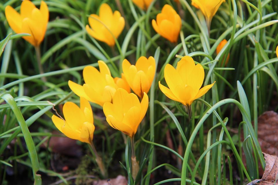 Crocus Jaune Fleurs Photo Gratuite Sur Pixabay