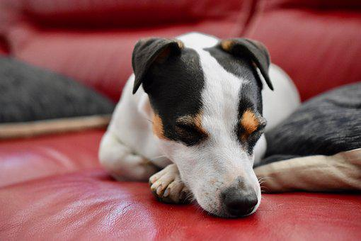 Jack Russel, Dog, Sleep, Sofa, Adorable