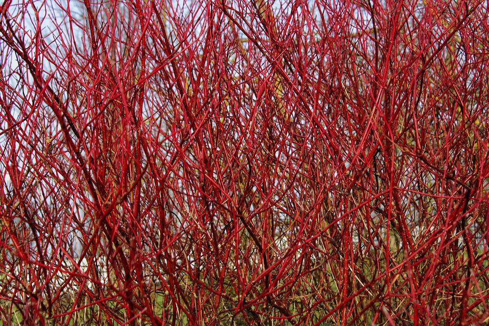 Branch, Bush, Siberian Dogwood, Cornus Alba 'Sibirica