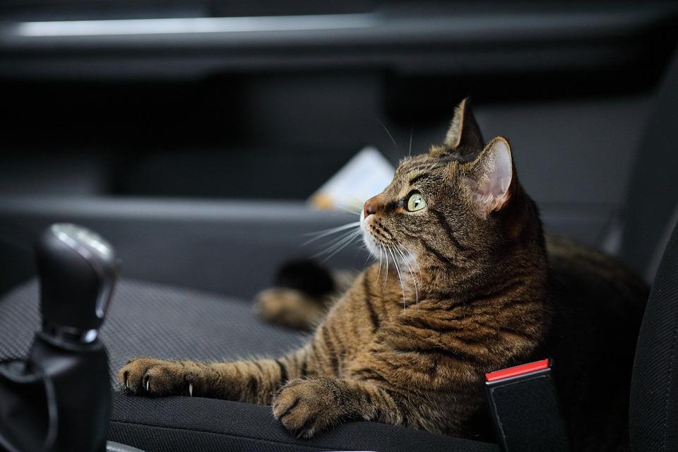 Gato, Carro, Animal, Domesticado, Natureza, Predador