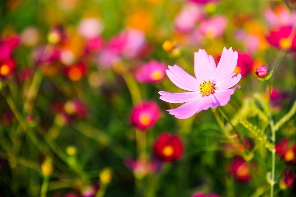 Cosmos Flowers Autumn Free Photo On Pixabay