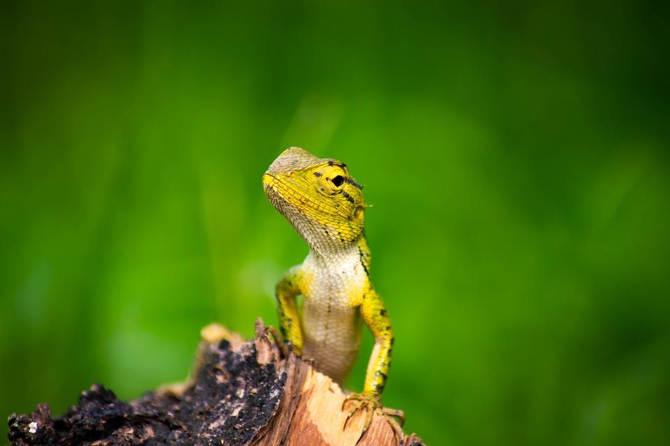 Kameleon, Achtergrond, Geïsoleerd, Groen, Dierlijk