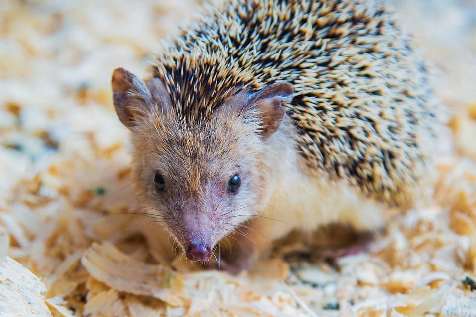 Igel Tier Hübsch Kostenloses Foto Auf Pixabay