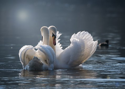 Swan, Pair, Love, Pairing, Emotions