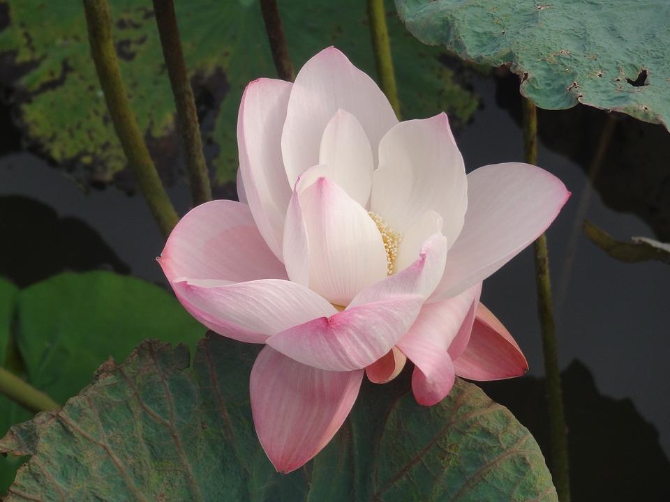 Lotusblüte Blumen Kostenloses Foto Auf Pixabay