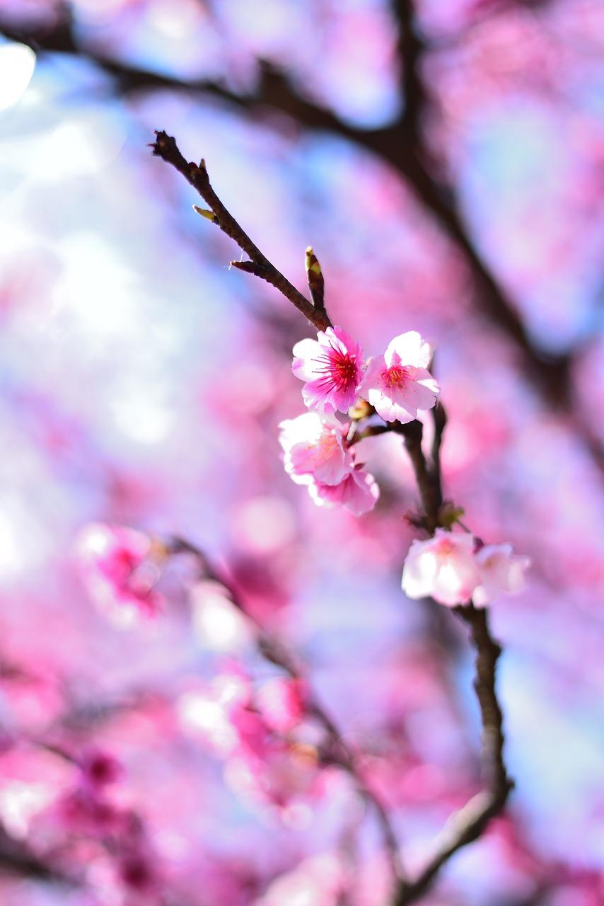 植物 花 桜の花 Pixabayの無料写真