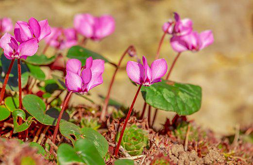 100+ Free Cyclamen & Flower Images - Pixabay
