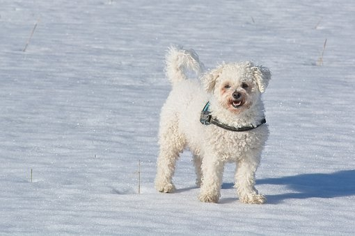 Bichon Frise, Bichon, Dog Breed, Dog