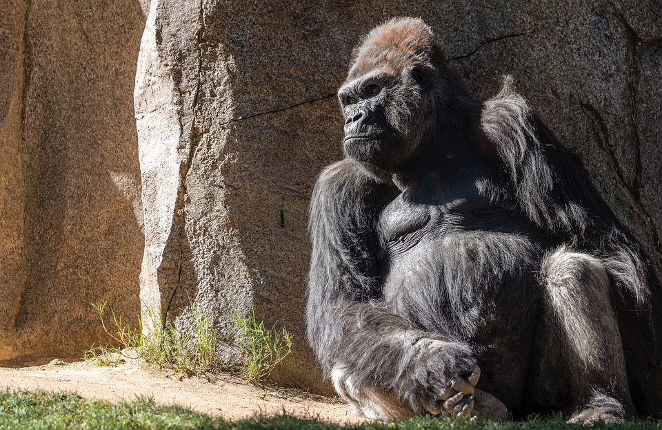Gorila, Zoológico De San Diego (PIXABAY)