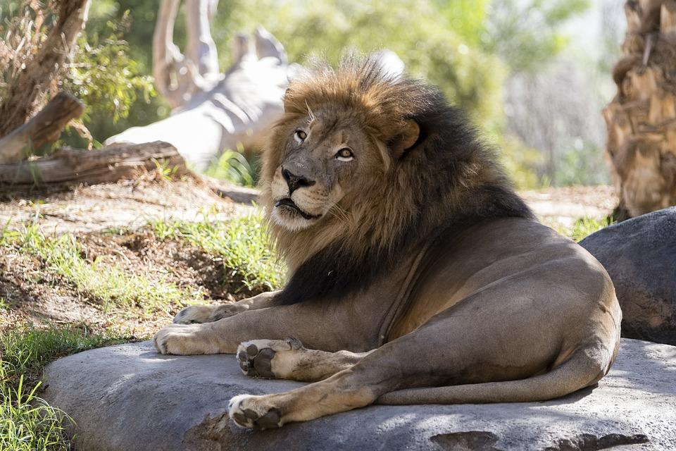 Lion San Diego Zoo Mammal Free Photo On Pixabay