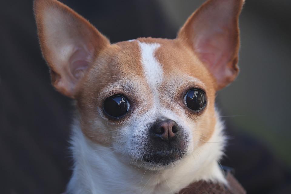 チワワ, 犬, 肖像画, 頭, 目, かわいい, ペット, 小, 動物, レース, 毛皮
