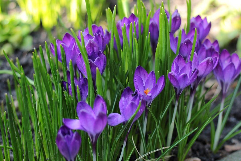 Super Krokus Blau Frühling - Kostenloses Foto auf Pixabay @ZY_54