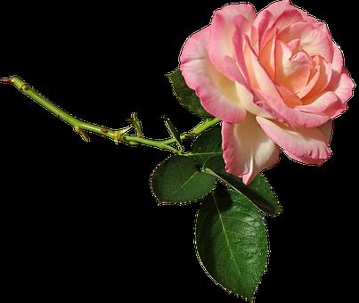Rose, Batang, Bunga, Taman, Alam