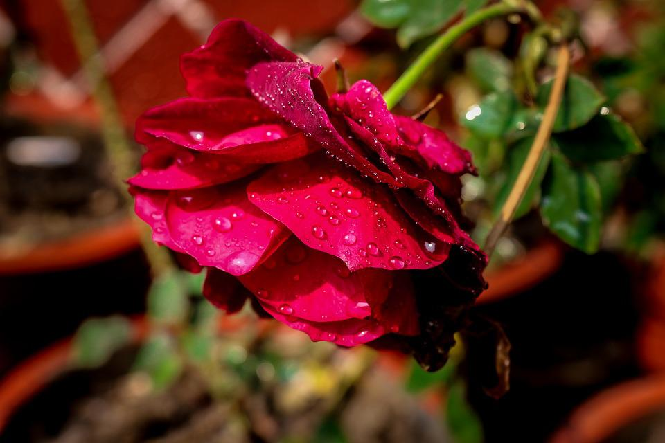 Rose Water Drops Nature Free Photo On Pixabay