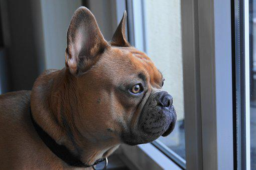 French Bulldog, Dog, View, Head