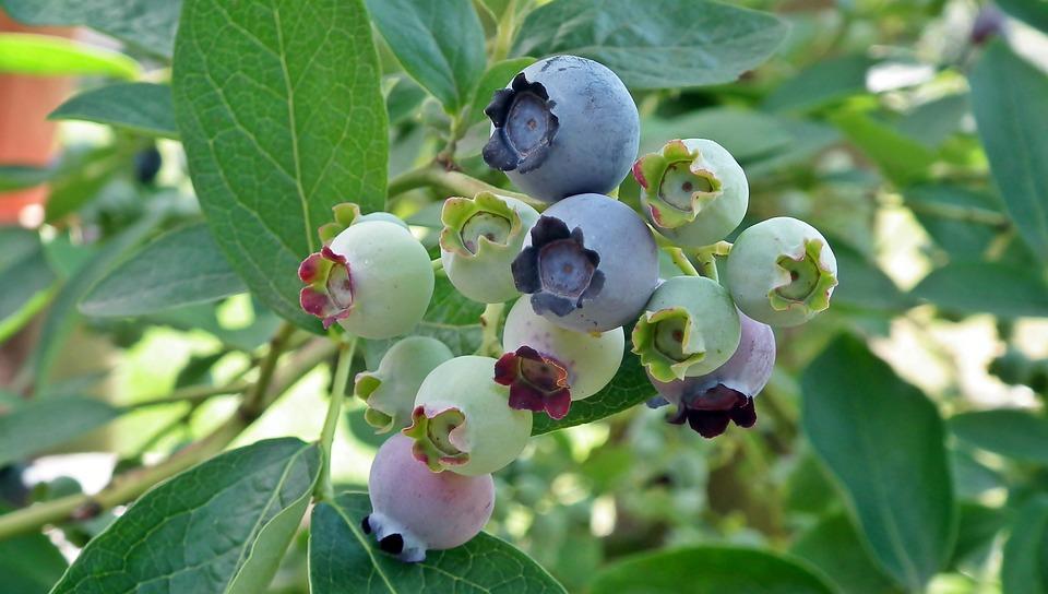 Arándano Americano, Fruta, Primer Plano, Naturaleza