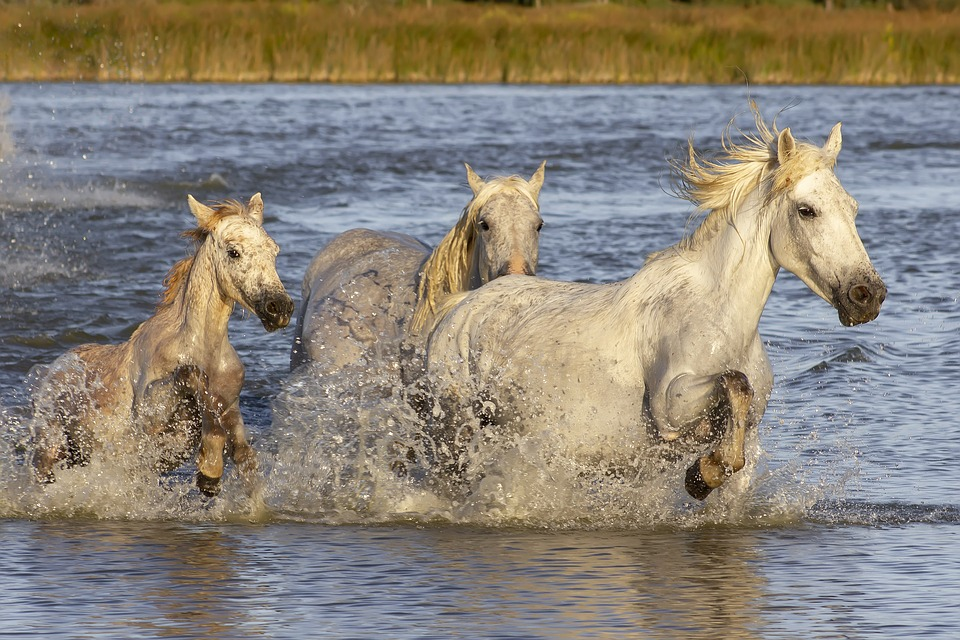 Camargue Horses Provence - Free photo on Pixabay
