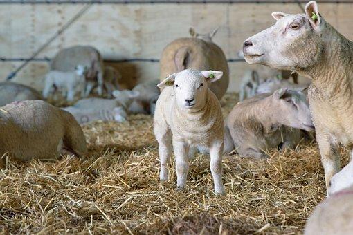 Owiec, Jagnięcina, Noworodka, Ssak