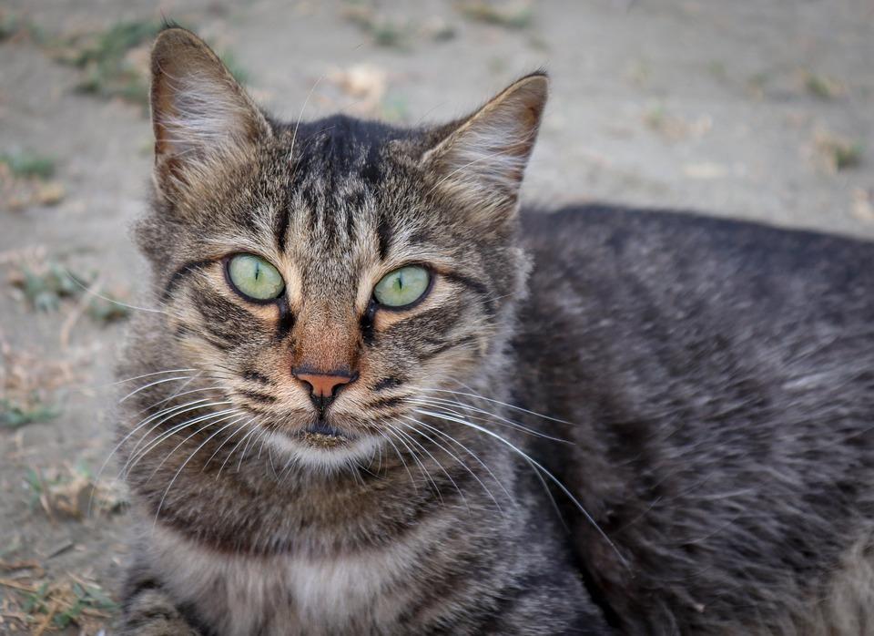 588aba73f619 Γάτα Κατοικίδιο Ζώο Το Κεφάλι Της - Δωρεάν φωτογραφία στο Pixabay