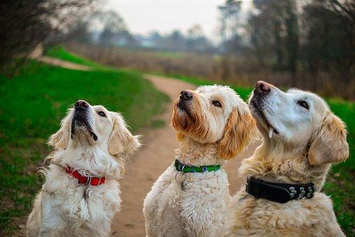 Golden Retriever, Golden Doodle, Sit, dog training treat