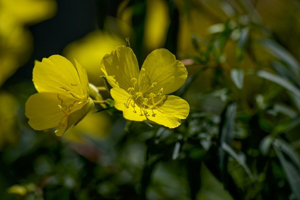 Nachtkerze, Gelb, Pflanze, Zitronengelb, Natur, Blüten