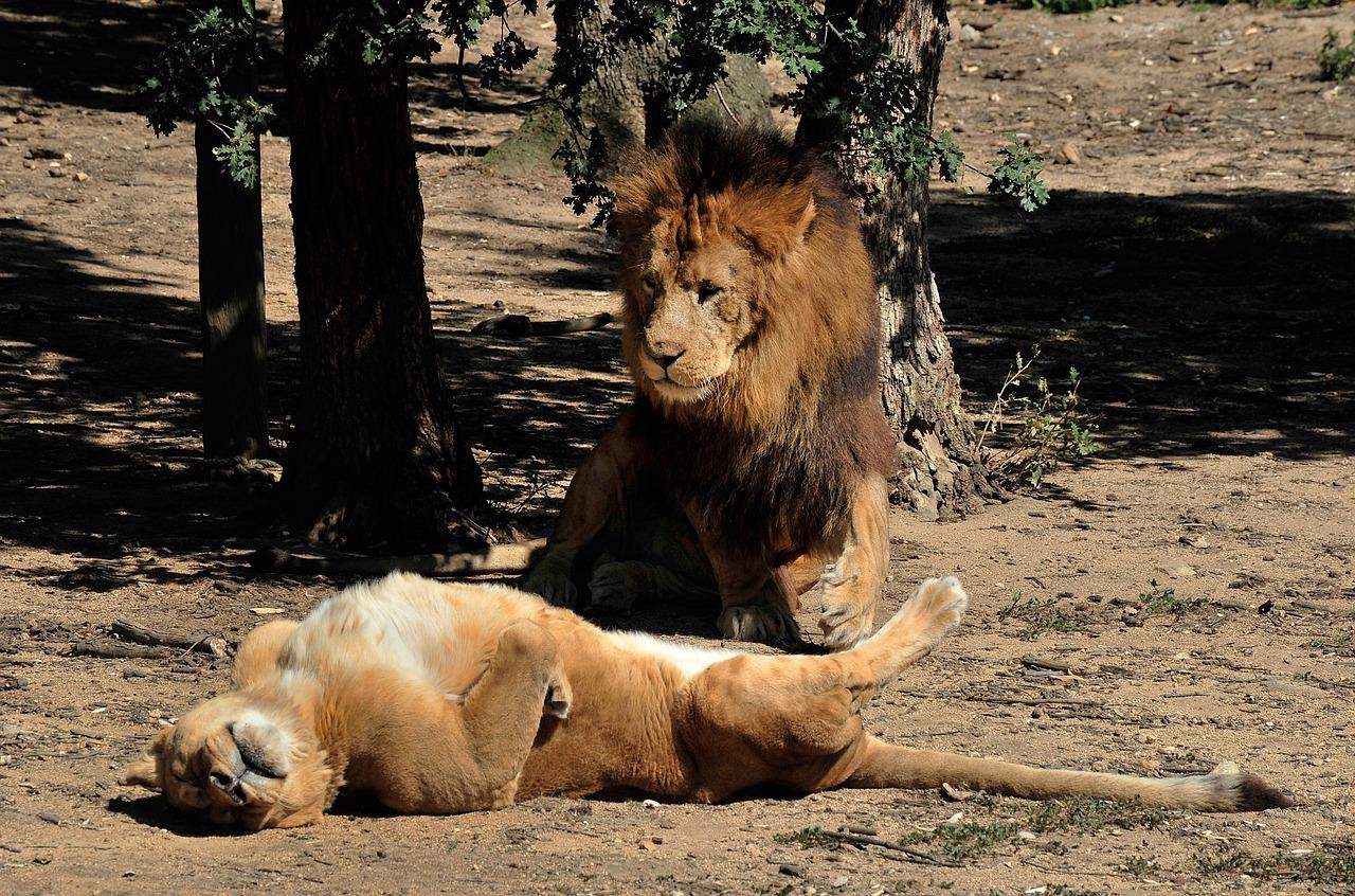компании картинки львица охраняет льва говорите