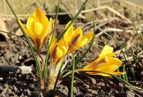 Crocus, Bunga Kuning, Awal Musim Semi