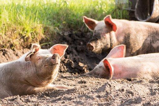 Cerdos, lindo, divertido, sucio, animales, feliz