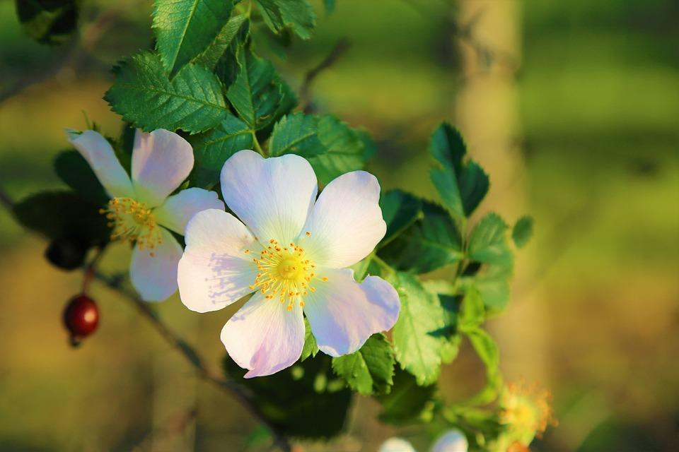 Fiore, Natura, Rosa Canina, White, Pianta, Primavera