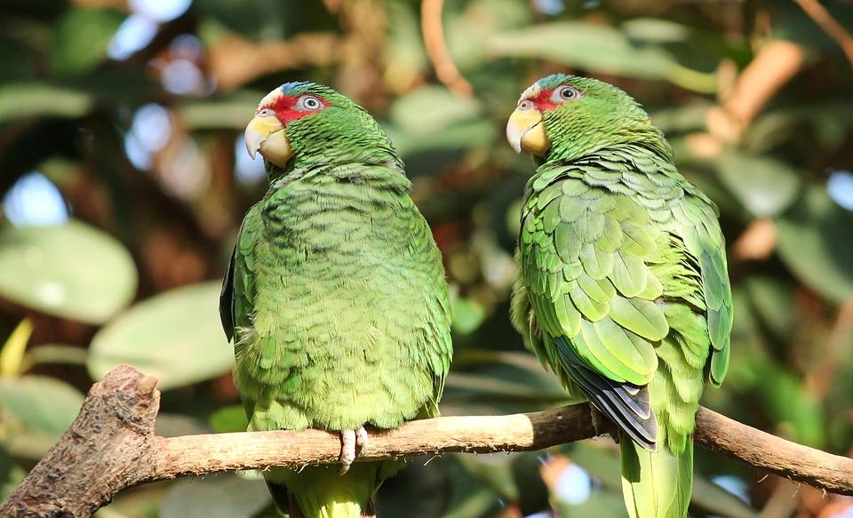 Parrots Green Pair Couple Inseparable Plumage