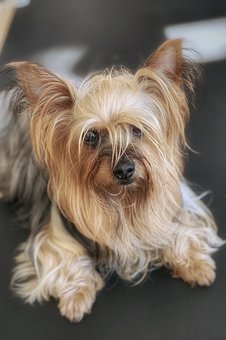 Dog, Yorkshire, Terrier, Cute, Pet