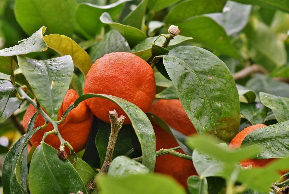 Arancione, Orange, Orange Tree, Agrumi, Frutta