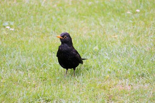 Μεγαλύτερο μαύρο πουλί βίντεο