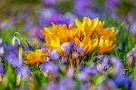 crocus, flower, blossom