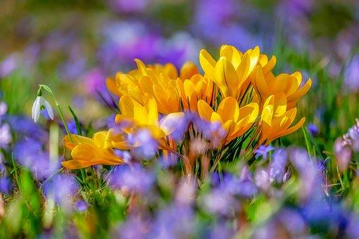 Krokus, Květina, Květ, Žlutá, Flóra