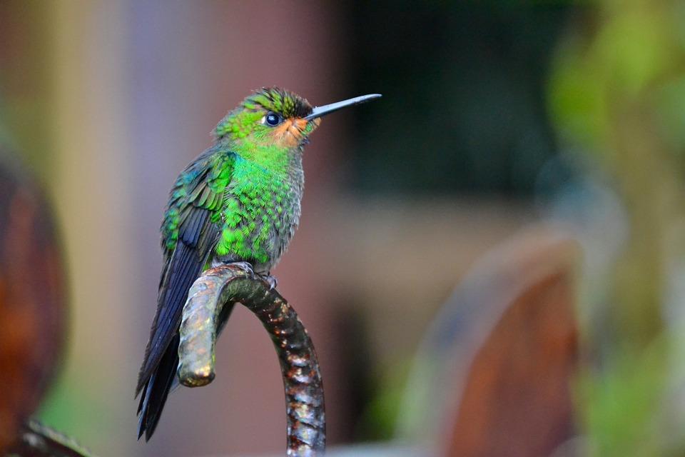 Costa Rica, Colibri, Nature, Oiseau
