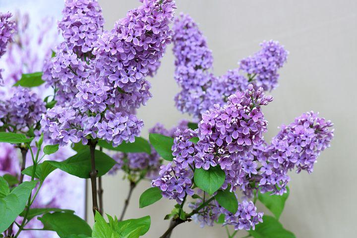 ライラック, 春, 花, 紫色, フローラ, 自然, 花びら